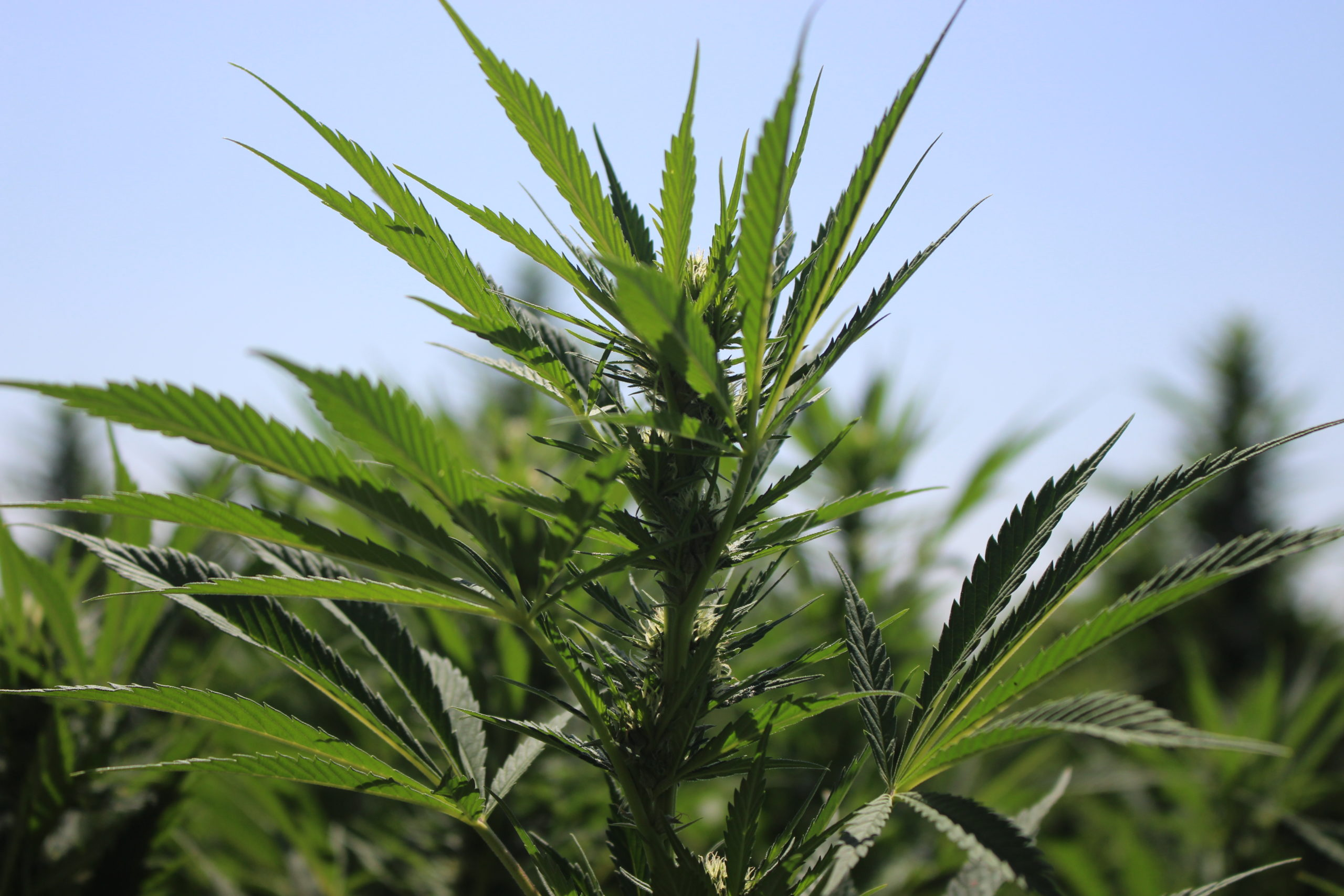 Hemp Ordinances Available for Review